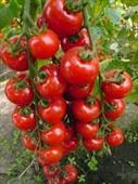 Cà chua bi đỏ năng suất