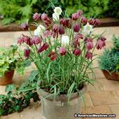 Fritillaria meleagris Mixed (Cỏ hoa chuông)