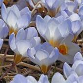 Hoa nghệ tây xanh lê