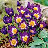 Hoa nghệ tây Tricolor