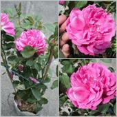 Cây hoa hồng Rosa_damascena