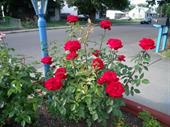 Cây hoa hồng Rosa Mister Lincoln