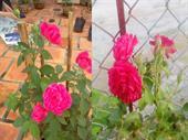 Cây Hoa hồng leo Tường vy