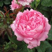 "Cây Hoa hồng ""Pierre de Ronsard"""