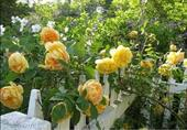 Cây Hoa hồng Golden celebration