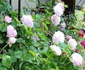 hoa hồng rose 'buff beauty'