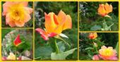 Cây hoa hồng Joseph'scoat (Hồng đổi mầu)