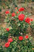 Cây hoa hồng Kiss