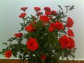 Cây hoa hồng tỷ muội