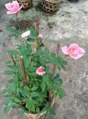 Cây hoa hồng thơm