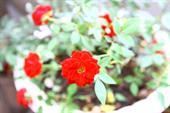Cây hoa hồng spirit