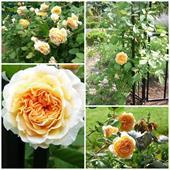 Cây hoa hồng crocus