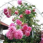 Cây hoa hồng leo hunkington