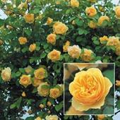 Cây hoa hồng leo Graham Thomas