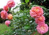 Cây hoa hồng christopher marlowe