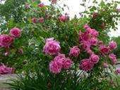 Cây hoa hồng leo MADAME ISAAC PIERRE