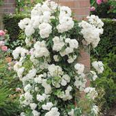 Cây hoa hồng leo White cockade