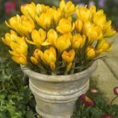 Hoa nghệ tây vàng Big Yellow