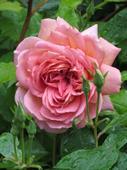 JUBILEE CELEBRATION ROSE