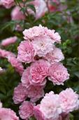 Super Fairy Rose