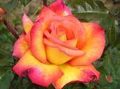 Shellla perfume rose