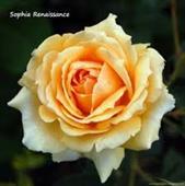 Sophia Renaissance Rose