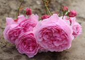 BISHOP'S CASTLE ROSE