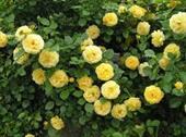 Sunprite Rose