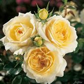 Tchaikovsky Rose
