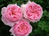 Bel canto rose