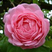 Constance Spry Rose