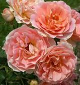 Peach Profunsion Rose