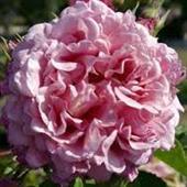 Bienvenue Rose