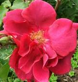 Red Parade Rose