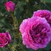 Scented Air Rose