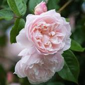 The generous gardenner rose