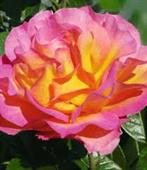 La Parisienne rose