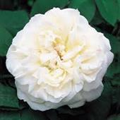 Wincheter Cathedral rose
