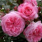 Zaide Rose