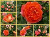 Gebrüder Grimm Rose
