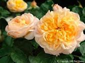 Golden Buddha Rose