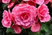 Thu hải đường grandiflora hồng trà F1