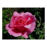 century two rose