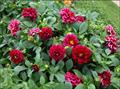 Cách trồng chăm sóc hoa thược dược