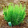 Sơ lược về tác dụng của cây hương thảo