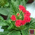 Kỹ thuật trồng và chăm sóc hoa anh thảo