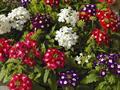 Hoa vân anh - Hoa dễ trồng