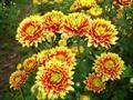 Hướng dẫn trồng hoa cúc