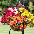 Làm thế nào để trồng hoa treo đẹp nhất