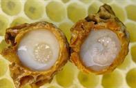 Sự khác nhau giữa sữa ong chúa nguyên chất và sữa ong chúa bị pha